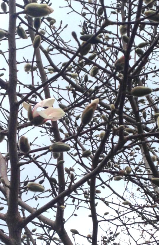 First Magnolia 2017