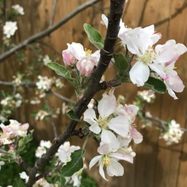 appleblossoms1
