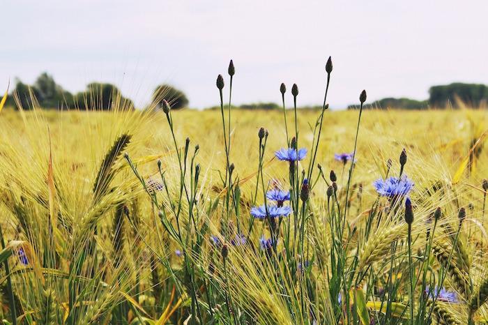 BarleyField