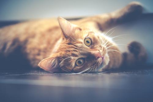 Pixabay_Cat5_500
