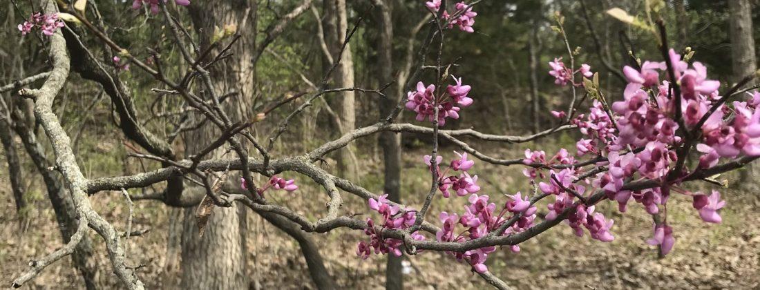 Redbud Blooms 2019