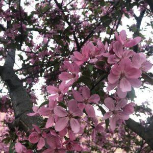 Crabapple Blooms 2019