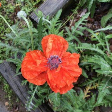 Orange Poppy 2019