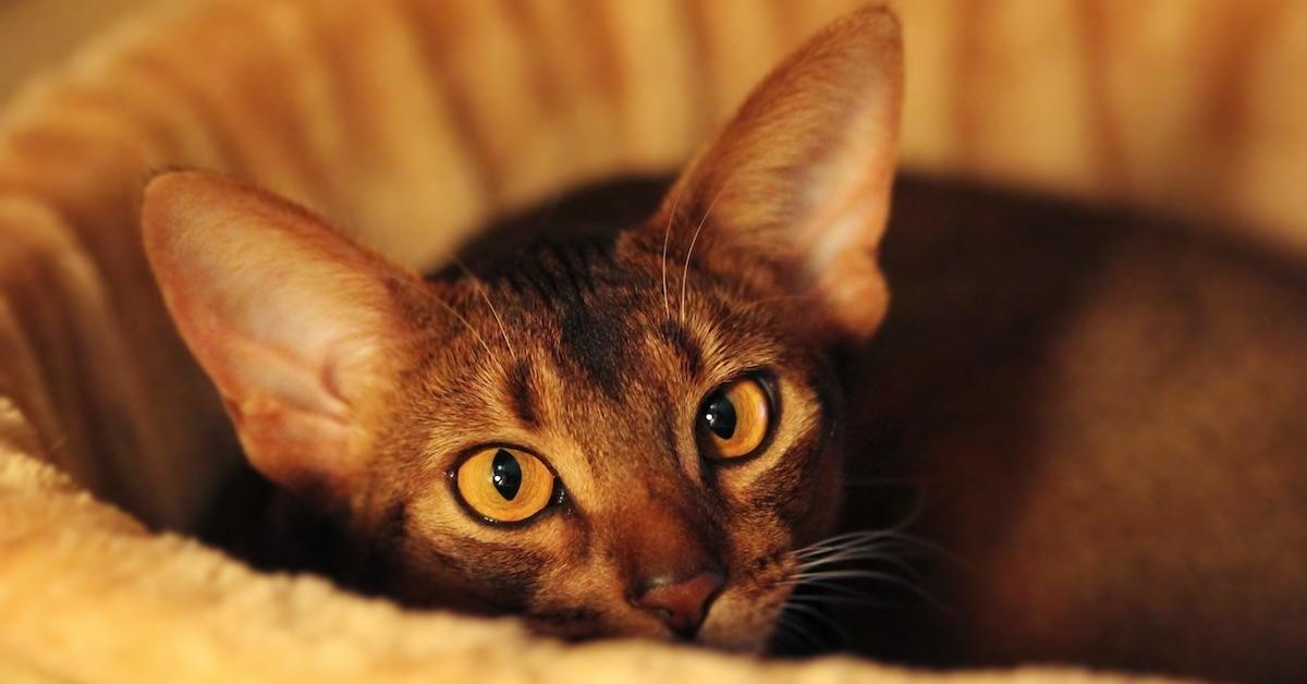 Abyssinian_Cat1LS