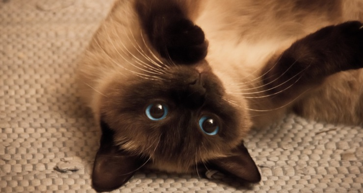 Siamese_Cat1LS