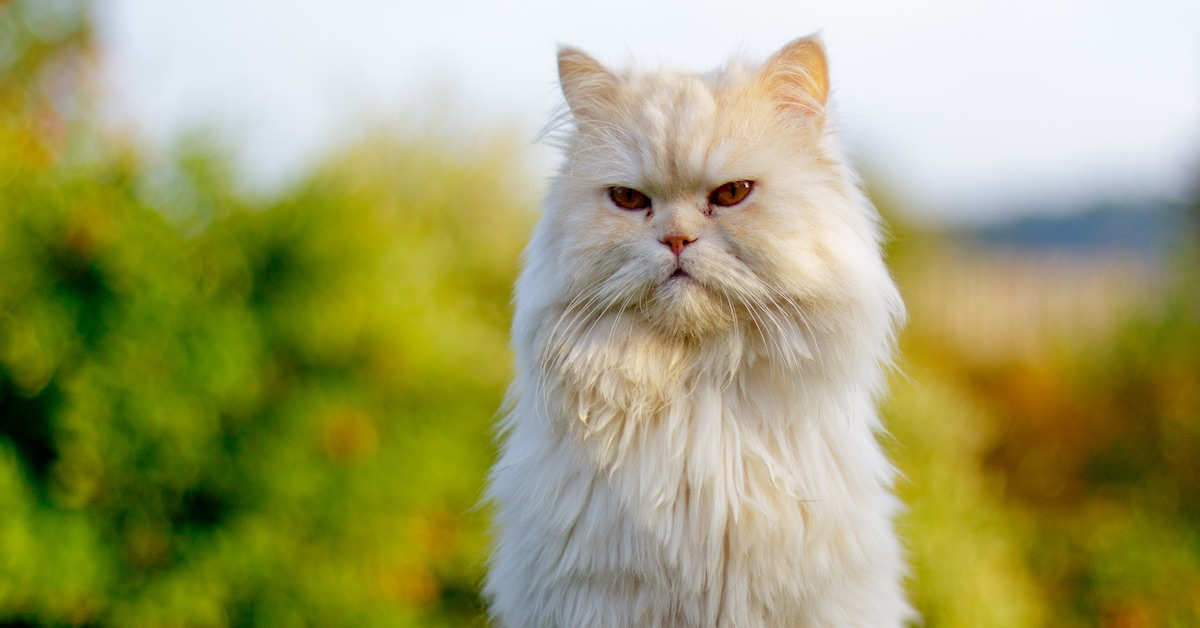 White_Persian_Cat1LS